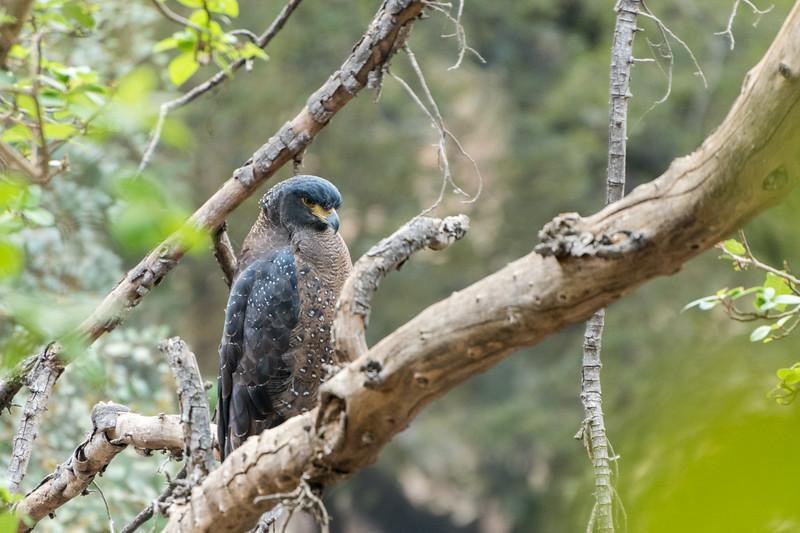 Crescent serpent eagle, Ranthambore National Park.