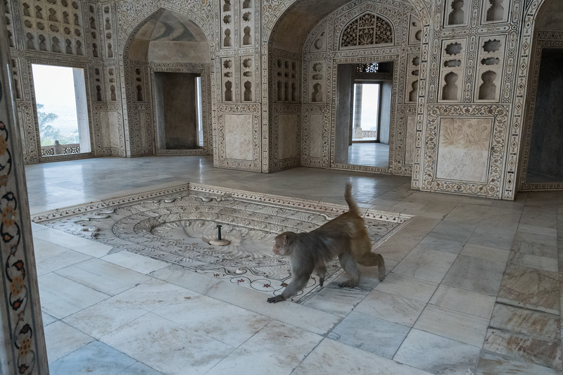 A monkey visits Shah Jehan's palace prison - Agra Fort.