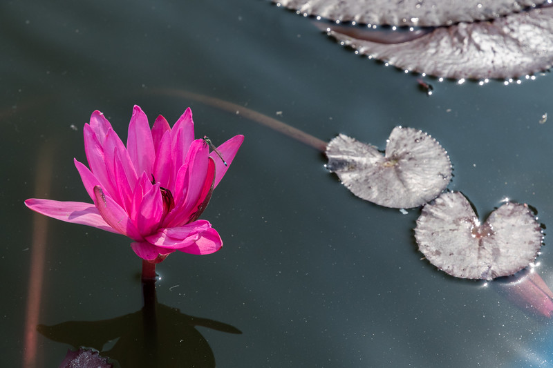Dragonfly and lotus flower in a pool at the new Buddhist statue near Sarnath, Varanasi.