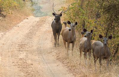 Sambar deer, Ranthambore National Park.