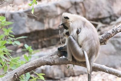 Black-faced langur monkey, Ranthambore National Park.