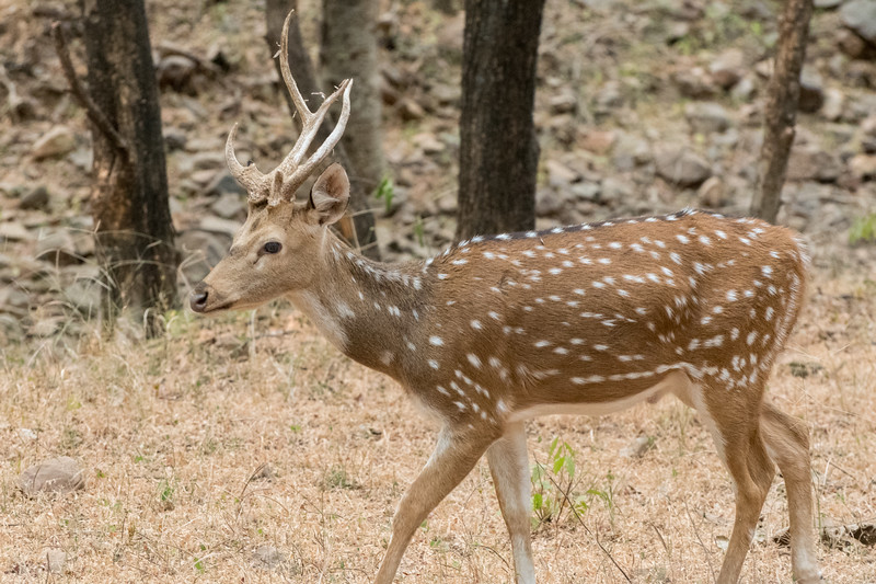 Spotted deer in Ranthambore National Park.