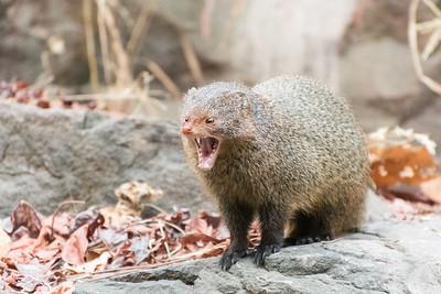 Ruddy mongoose threat display, Ranthambore National Park.