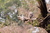Spotted owlet, Ranthambore National Park.