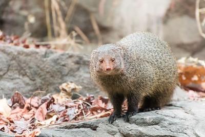 Ruddy mongoose, Ranthambore National Park.