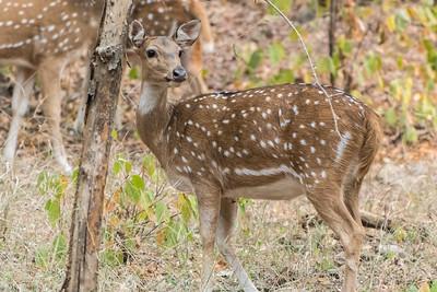 Spotted deer, Ranthambore National Park.