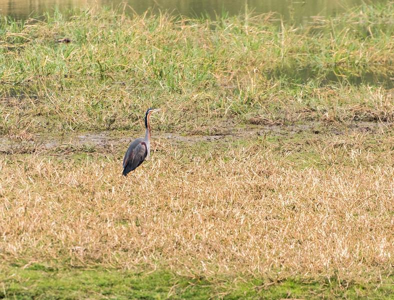 Purple heron, Ranthambore National Park.
