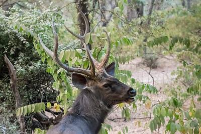 Sambar buck, Ranthambore National Park.