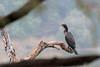 Cormorant, Ranthambore National Park.
