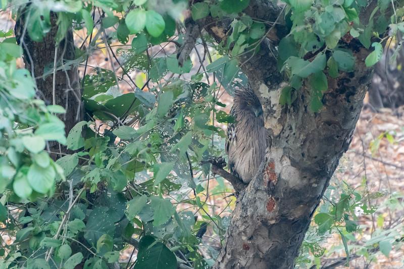Brown fish owl, Ranthambore National Park.