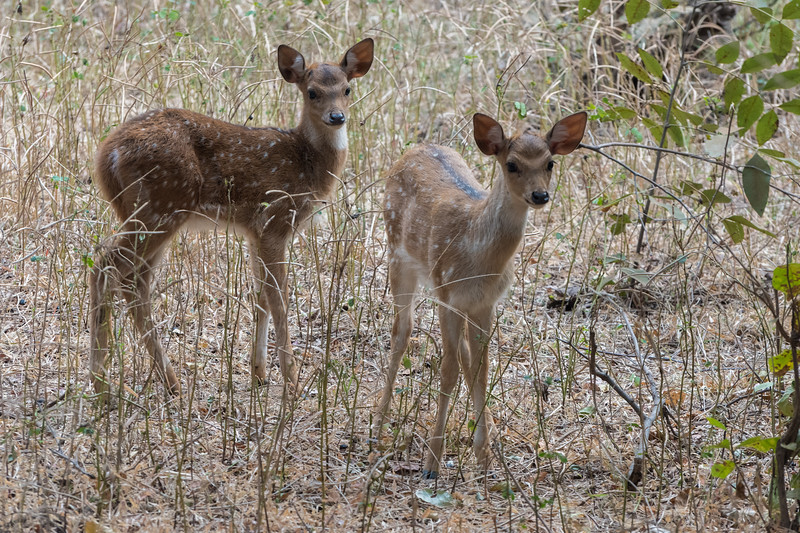 Spotted deer fawns (7-10 days old), Ranthambore National Park.