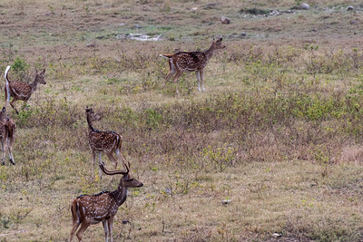 Deer on alert because of a nearby tiger - Ranthambore National Park.