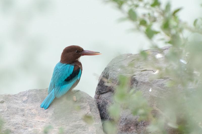 White-throated Kingfisher, Ranthambore National Park.