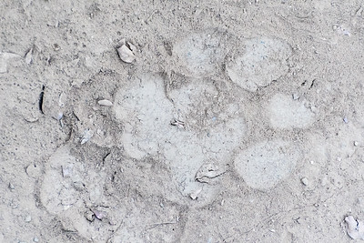 Fresh tracks of a male tiger, Ranthambore National Park.