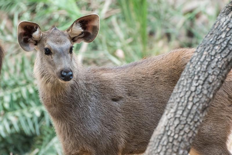 Sambar doe in Ranthambore National Park.