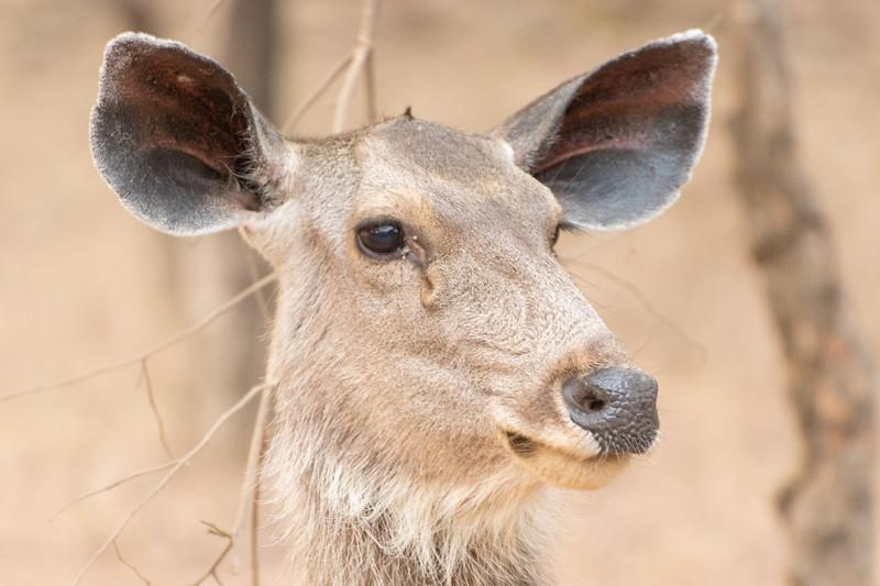 Sambar doe, Ranthambore National Park.