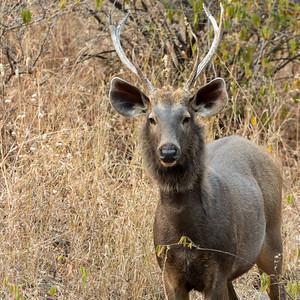 Sambar buck in Ranthambore National Park.