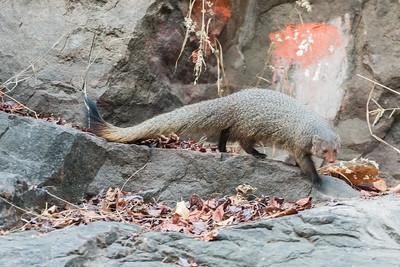 Ruddy mongoose passing a Hindu temple, Ranthambore National Park.