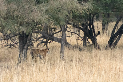 Bengal tiger sprays a tree to mark her territory, Ranthambore National Park.