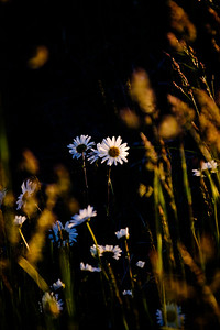 Daisies in Morning Light