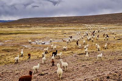 Herding Alpacas
