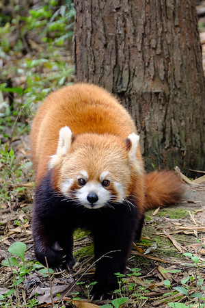 Red Panda - Chengdu, China