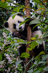 Baby Giant Panda - Chengdu, China