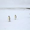 See Emperor Penguins Antarctica Expedition