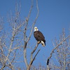 Bald eagle somewhere in Colorado