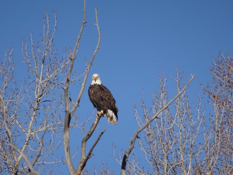 Bald eagle somewhere in Colorado
