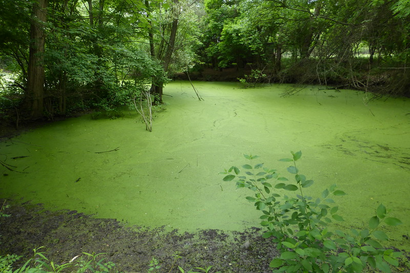 Pond covered in duckweed