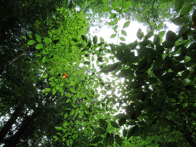 Looking up through the canopy of leaves.