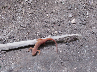 The gecko or a newt.