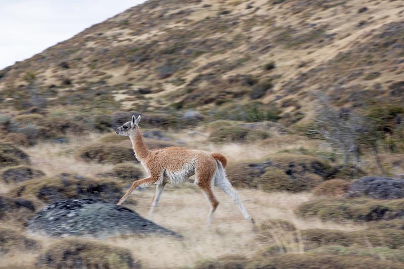 Lama Patagonie