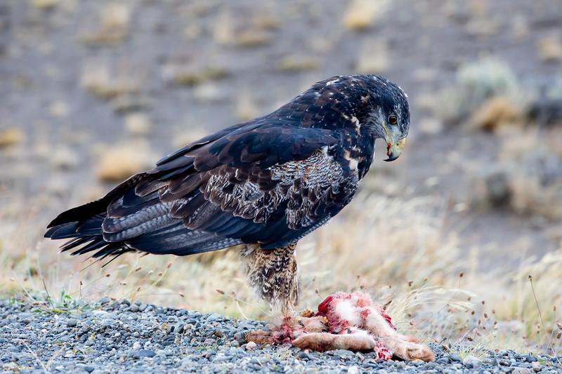 Dravý pták s kořistí Patagonie