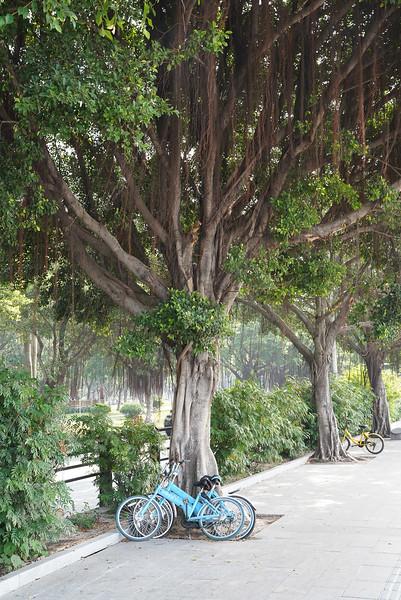 Rental Bikes under a Banyon Tree