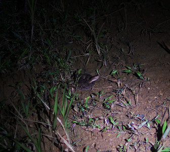 Fer-de-lance (Bothrops asper), small by deadly, out for frogs