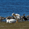 White Pelicans, Cormorants, and Willets