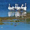 White Pelican Squadron