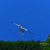 Flying White Pelican