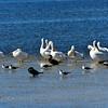 White Pelicans, Cormorants, Gulls