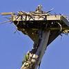 Osprey on Nest
