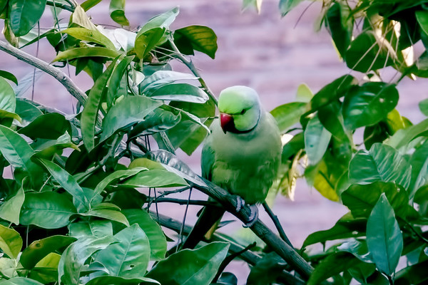 Our Air B&B not only afforded us a great view of the church of Santa Maria in Trastevere, but we were also able to observe parrots feeding on an orange tree in the church's courtyard.