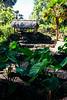 Waimea Bay Village (on site of ancient Hawaiin Village). Dryland Taro garden.