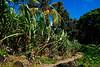 Waimea Bay Village (on site of ancient Hawaiin Village). Sugar cane.