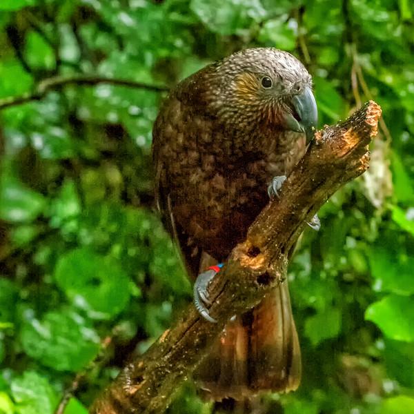 "2018-03-23 Kea-related, Zealandia Ecosanctuary, coords: 41°17'51"" S 174°44'43"" E"