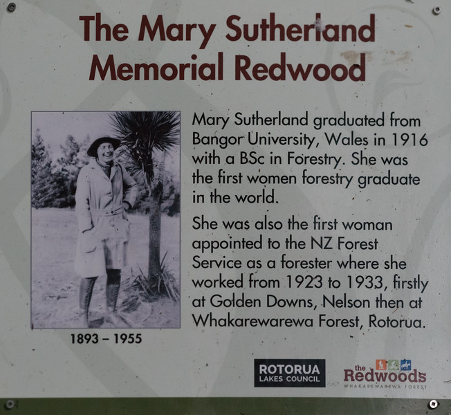 "2018-03-16 Plaque positioned in redwood forest honoring  the first woman to graduate in forestry. Coords: 38°9'36"" S 176°16'12"" E. Rotorua, New Zealand. After experimentation, the Radiata Pine [originally, native to central and southern coastal California] was found to be the most desirable tree for commercial tree farming. ""In the southern hemisphere, where pines are to a large extent absent, Radiata Pine is the most commonly planted and cultivated pine. It is valued on plantations for its fast growth and utility as both a source of construction lumber as well as wood pulp in the paper industry."" ""Radiata Pine is grown almost exclusively on plantations—most notably in Chile, Australia, and New Zealand."""