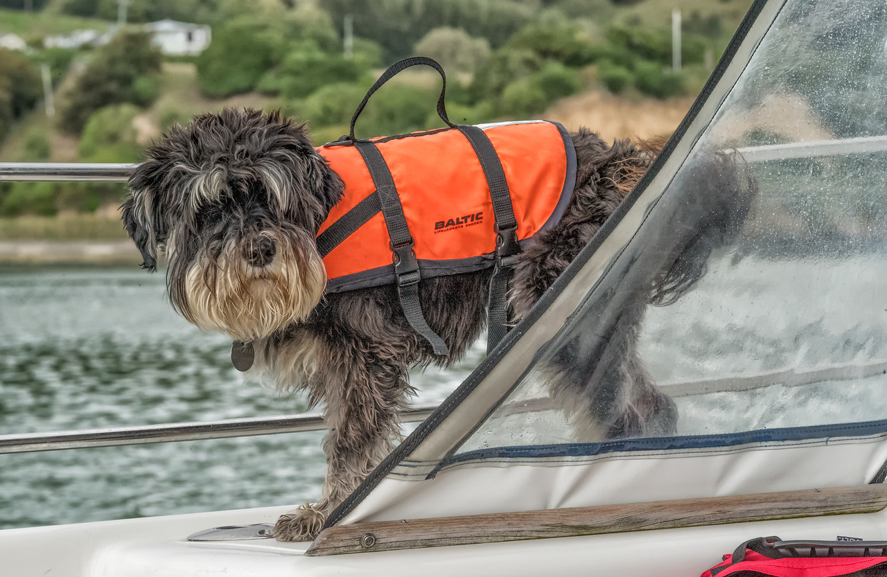 2018-03-17 This dog has an uncanny resemblance to our first dog, Poulie. Akaroa Harbor cruise, New Zealand.  Boat staff said the dog has gone over three times.