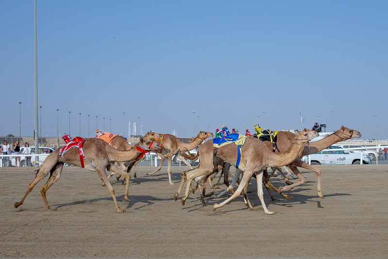 velbloudi Katar závod