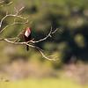 White throadted Kingfisher